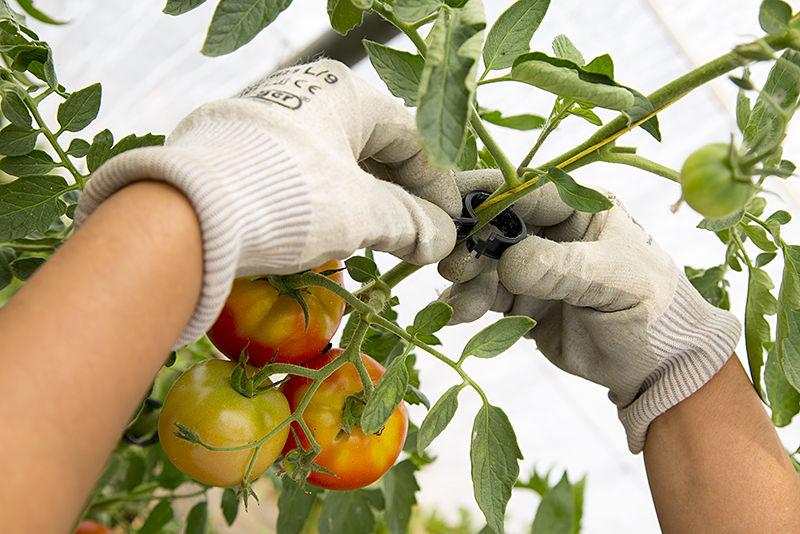 Clips para tomatera